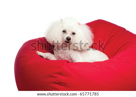 An adorable white toy poodle snuggled up in a red bean bag chair. Shot in the studio on an isolated white seamless backdrop.