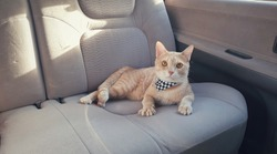 an adorable young bright orange tabby cat wearing fabric collar lying on passenger seat inside car when travel on holiday or vacation with owner.Leave pet in the car concept.A cat looking camera.