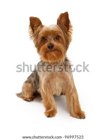 An adorable young Yorkshire Terrier dog isolated on white