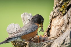 An adult American robin arrives at its nest with a mouthful of food to feed four hungry chicks on a spring day.
