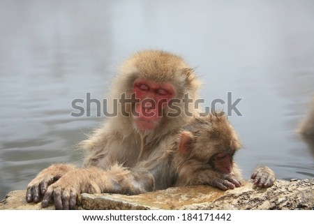 An adult and  baby Japanese macaque monkey resting near a rock.