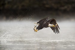 An adult Bald Eagle grabs a fish from the water early one morning with a big splash behind it as it flies away.
