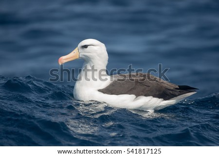 An adult Black-browed Albatross (Thalassarche melanophrys) resting on a blue sea, South Africa #541817125
