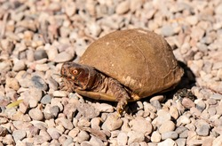 An adult box turtle with red eyes is sitting with its head out.