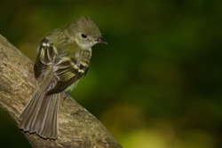An adult breeding Acadian Flycatcher perching on a tree branch