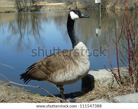 An adult Canada Goose standing beside a blue lake in spring in Winnipeg, Manitoba, Canada