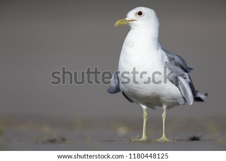 An adult common gull or Mew gull (Larus canus standing on a parking lot in the ports of Bremen Germany. #1180448125