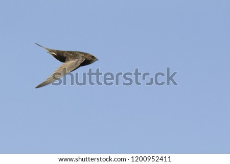 An adult Common swift (Apus apus) taking off to the sky in high speed. With in the background blue sky. #1200952411