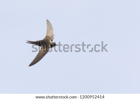 An adult Common swift (Apus apus) taking off to the sky in high speed. With in the background blue sky. #1200952414