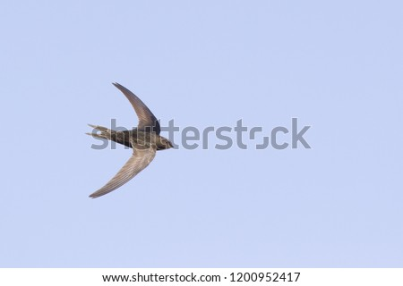 An adult Common swift (Apus apus) taking off to the sky in high speed. With in the background blue sky. #1200952417