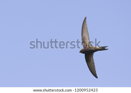 An adult Common swift (Apus apus) taking off to the sky in high speed. With in the background blue sky. #1200952423