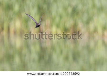 An adult Common swift (Apus apus) taking off to the sky in high speed. With in the background trees. #1200948592
