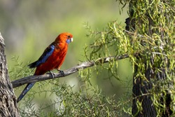 An adult Crimson Rosella (Platycercus elegans) perched on a branch.