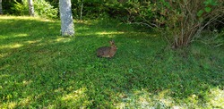 An adult eastern cottontail rabbit sitting in the grass nibbling on weeds and other vegetation. There is a white tree trunk in the distance. Close up, landscape, room for text.