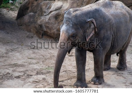 An adult elephant, mammal, standing on sand with a large rock and foliage in the background. The long trunk is hanging down, it has large ear flaps which are tucked in, no tusks and leathery skin.