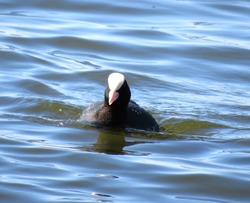 An adult Eurasian Coot (Fulica atra) also known as Common Coot standing in shallow water, against a blurred blue water background, swimming