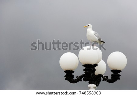 An adult European Herring Gull (Larus Argentatus) perches on a Victorian round street lamp against grey skies background on a dull Autumn day in monochromatic composition. #748558903