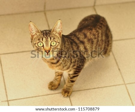 An adult European shorthair cat on a white background looking into the camera