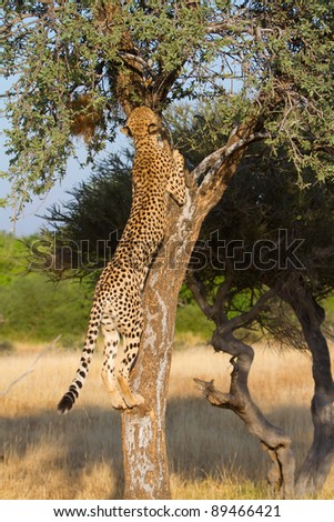 An adult female cheetah climbing a small tree