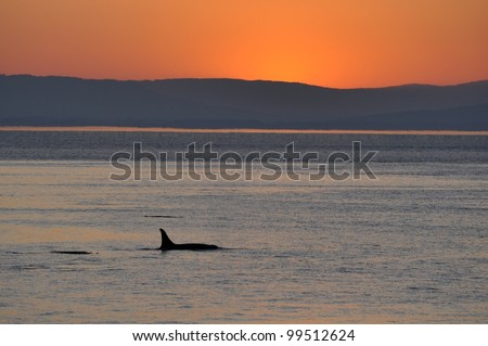 An adult female killer whale swims into a sunset in the San Juan Islands, Washington.