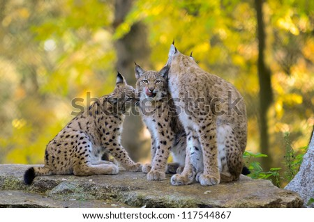 An adult female lynx  with cubs