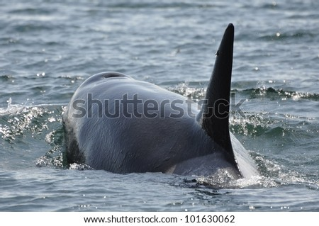 An adult female orca surfaces, displacing the water around her.