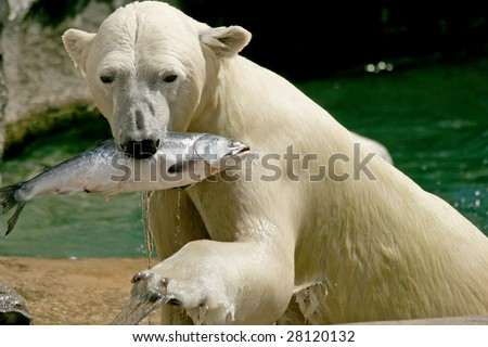 An adult female polar bear emerging from the water with a fish