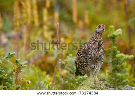 An adult female ruffed grouse is standing on a rock.