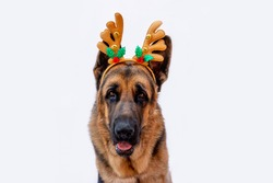 An adult German shepherd in a Christmas costume with deer antlers. Dog celebrates the new year. Greeting card. Animal on a white isolated background. Space for text. Copy space.