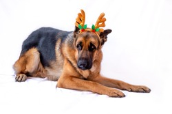 An adult German shepherd in a Christmas costume with deer antlers. Dog celebrates the new year. Greeting card. The animal is lying on a white isolated background. Space for text. Copy space