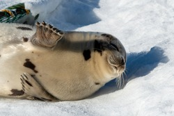 An adult gray harp seal lays on a white bank of snow and ice. The large animal has light grey fur with dark spots on its skin. There are crab pots in the background made of green rope and wire.