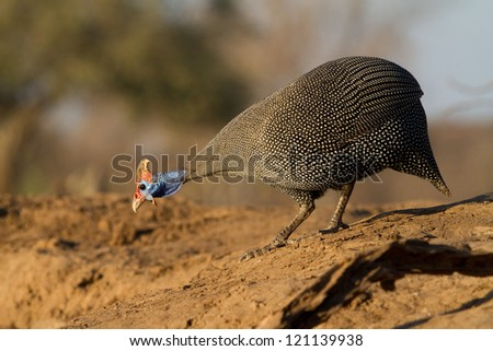 An adult helmeted guineafowl walking down to the edge of the water to drink