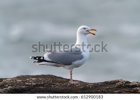 An adult Herring Gull, seagull, Larus argentatus argenteus, perched and calling on a rock by the sea. UK, England, Dorset coast.