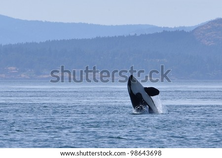 An adult killer whale breaches in Haro Strait between San Juan Island, Washington, and Vancouver Island, Canada.