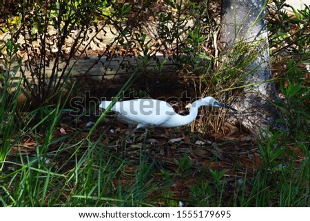 An adult little egret (Egretta garzetta) walking around and posing for some photos with some shrubs in the background