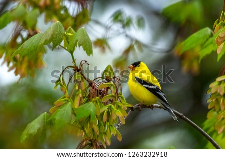 An adult male American Goldfinch (Spinus tristis) perched in a Maple Tree in the Pine Bush Preserve in Albany, NY.