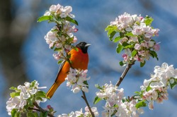 An adult male Baltimore Oriole (Icterus galbula) perched in an apple tree among the apple blossoms in spring.