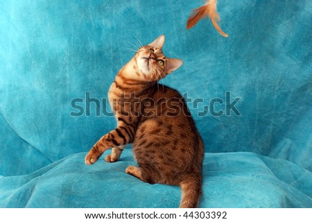 an adult male bengal cat playing with feather toy against blue background