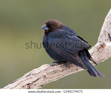 An adult male Brown-headed Cowbird perching on a dead branch