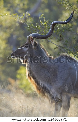 An adult Male Greater Kudu Bull, (Tragelaphus strepsiceros), in the Kruger Park, South Africa
