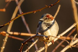 An adult male house sparrow (Passer Domesticus) is perching on a leafless branch alone in winter. It has red light brown and darker brown furs in his plumage. It has dark colored beak and eyes.