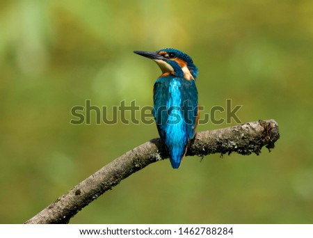 An adult male kingfisher (alcedo atthis) perched on a branch over a pond at my local nature reserve in Cardiff, Wales, UK
