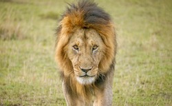 An adult male lion (Latin - Panthera leo) looks fierce and dangerous as he walks directly toward the camera, in the Masai Mara, Kenya.