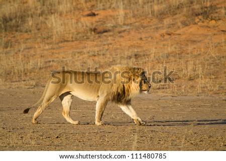 An adult male lion walking along a dry riverbed in golden light