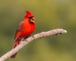 An adult male Northern Cardinal perching on a branch