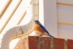 An adult, male Sialia Sialis (eastern bluebird) is perching on a brick on the side of a house with roof drainage pipe next to it. This is a migratory bird with blue feather and brown belly