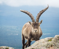 An adult male Spanish wild mountain goat ( Iberian ibex ) starring right into the camera.