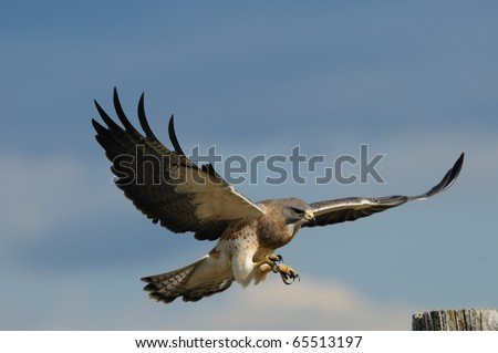 An adult male Swainson's hawk in flight and about to land on a fence post.