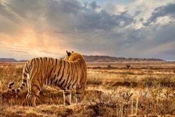 An adult male tiger (Panthera tigris tigris) standing with backlight from the setting sun, his orange and striped markings camouflaging him in the landscape.