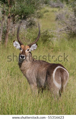 stock photo : An adult male waterbuck standing in green grass savanna